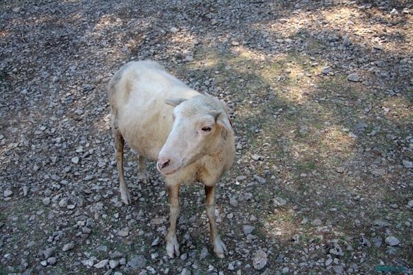 Майорка. Овца.