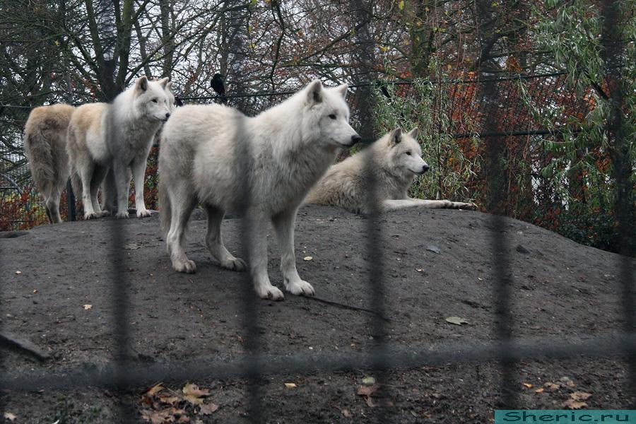 Амстердам. Зоопарк. Белый волк