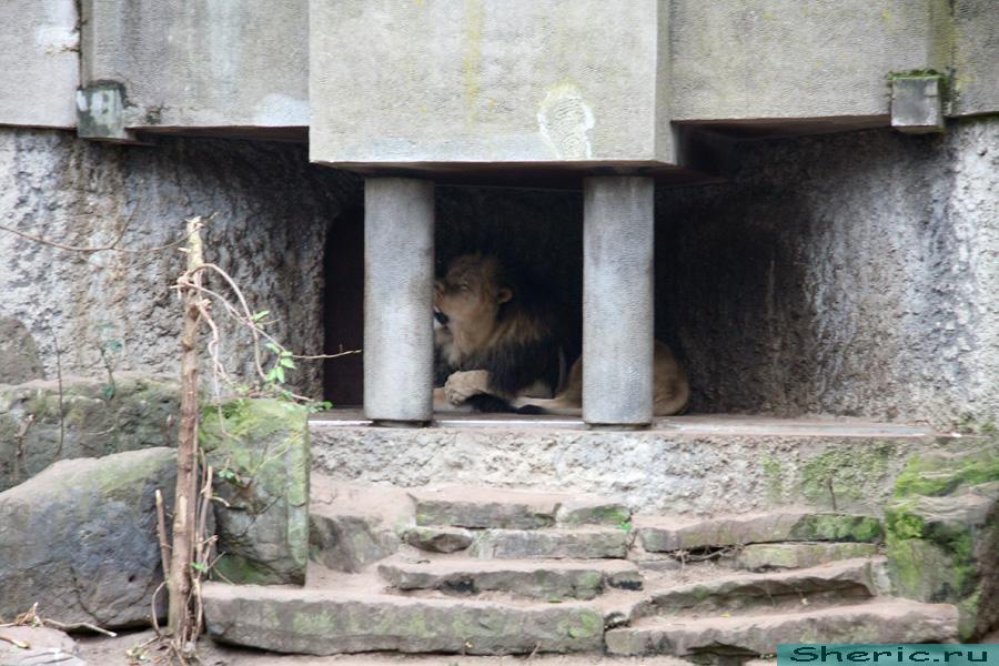 Амстердам. Зоопарк. львы